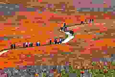 Rực rỡ sắc màu thung lũng hoa Anh túc